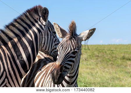Cute zebras - Burchell's Zebra (Equus burchelli) Eastern Cape South Africa