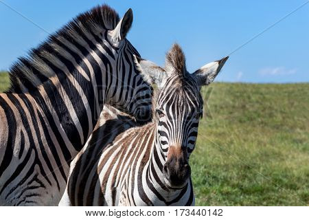 Cute zebras Burchell's Zebra (Equus burchelli) Eastern Cape South Africa