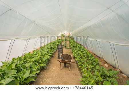 Greenhouse With Calla Flowers