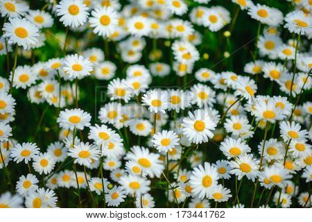Selective Focus Daisy Flowers - Wild Chamomile. Green Grass And Chamomiles In The Nature