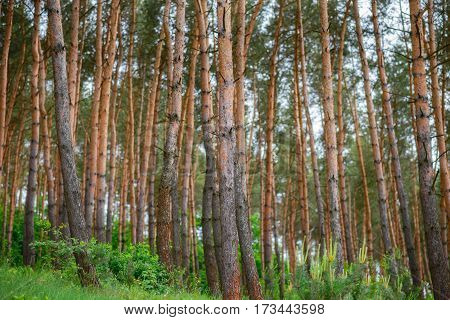 Pine Forest Under Deep Blue Sky