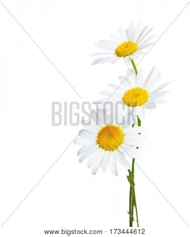 Three flowers of Chamomiles  ( Ox-Eye Daisy ) isolated on a white background