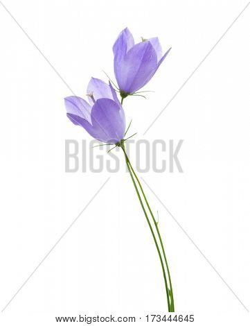 Two bellflowers isolated on white.