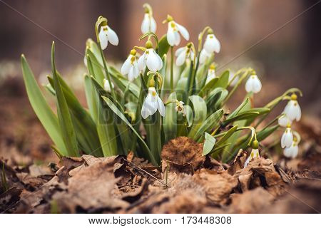 fresh spring snowdrop flowers in the forest. Happy womens day 8 march invitation card. selective focus macro shot with shallow DOF.