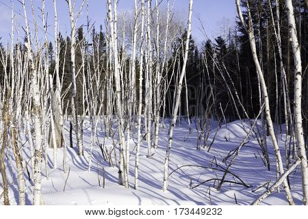 Wide view of a multitude of thin birch trees stalks bare as bones and standing straight at Pabineau Falls near Bathurst New Brunswick on a bright sunny day with blue skies and clouds in February.