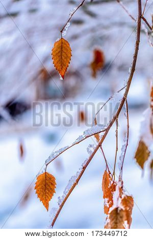 Brunches and leaves covered by snow and ice. Vancouver. Canada.