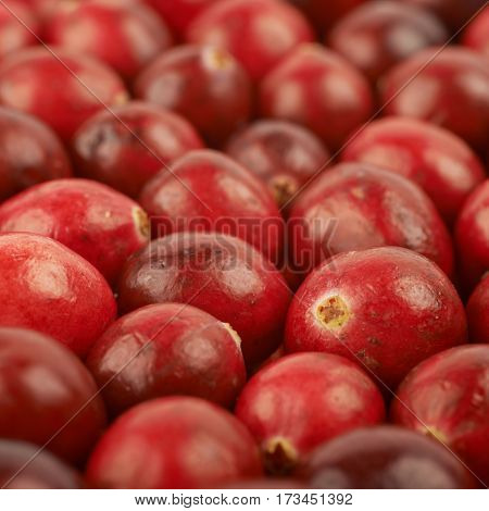 Surface coated with the multiple red ripe cranberries as a backdrop composition with a shallow depth of field