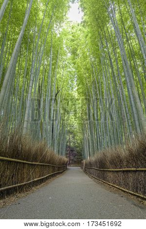 Bamboo forest in Arashiyama where is famouse in Kyoto Japan