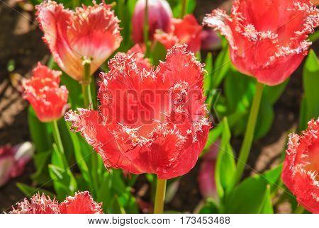 Bright red Tulips (Tulipa). The sort of