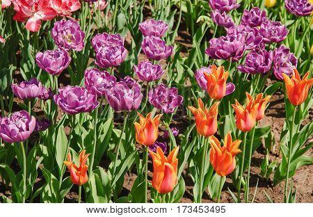 Beautiful varietal Tulips (Tulipa). Purple terrycloth sort of