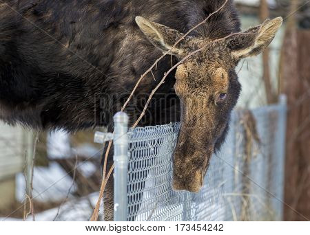 Moose leaning over fence in a small north Idaho town.