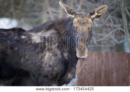 Close up of a young moose in north Idaho.
