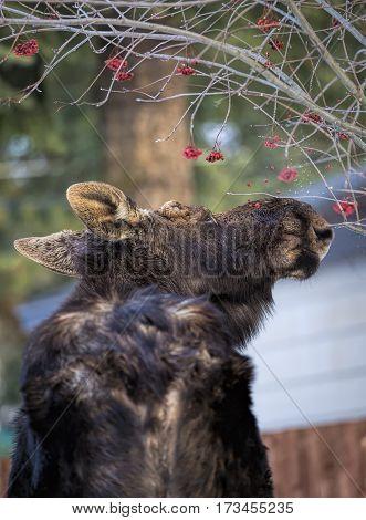 Moose has to get those berries in Rathdrum, Idaho.