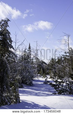 Vertical winter snow scene of a row fir trees along the side of the highway to Miramichi, New Brunswick covered in thick glittering ice and snow from a recent ice storm. Shot on a chilly bright blue sky sunny day in February.
