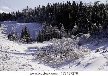 Winter snow scene close view of a row small bare branches and bushes on a snow covered patch along the highway to Miramichi, New Brunswick, covered in thick glittering ice and snow from a recent ice storm with rows of fir trees in the background. Shot on