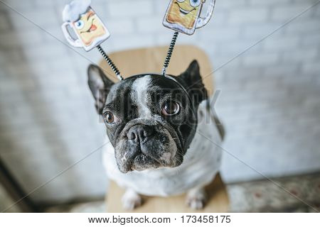 Dog with beer diadem on white wall