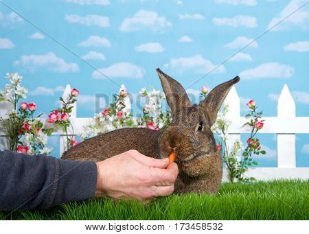 brown bunny laying in green grass facing viewer male hand feeding baby carrot. White picket fence with small pink roses. Blue background sky with clouds. Copy space.