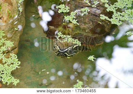 turtle diving and hinding under water in lake