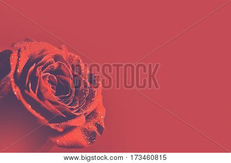 Red Rose Background. Red Burgundy Background with Rose. Copy Space.