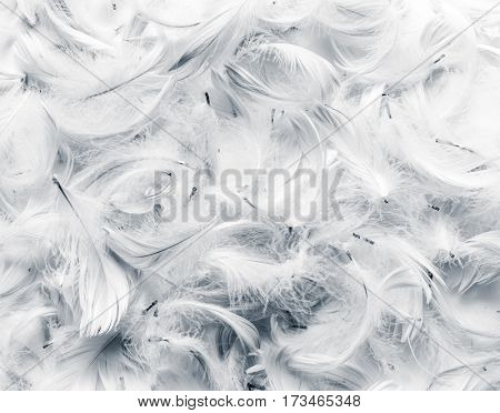 Black and white feathers background. Soft, delicate concept