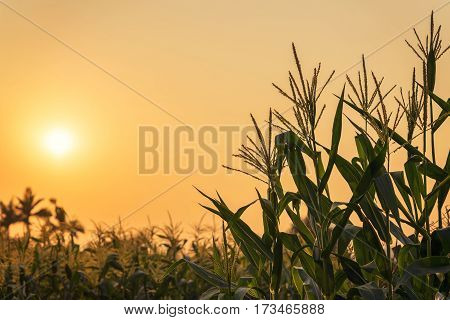 Corn plant and sunset on field nature scene.