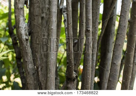 Trunk Dracaena close up for background, trunk plant