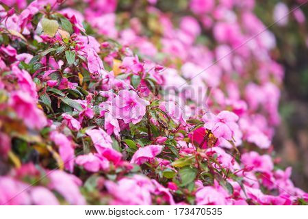 Sweet pink petunia flower bed for background