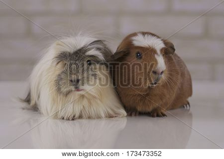Beautiful Guinea pigs breed Golden American Crested and Coronet cavy