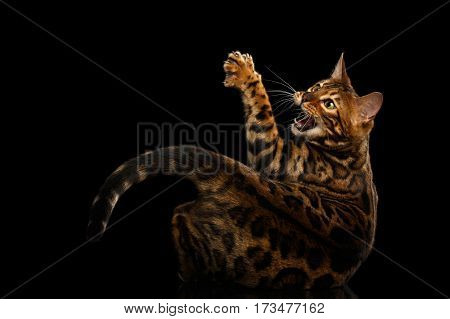 Gorgeous Spotted Bengal Cat Hunts, catching paw with claw on isolated Black Background, back view