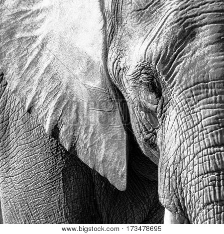 Monochrome close up of an African elephant face
