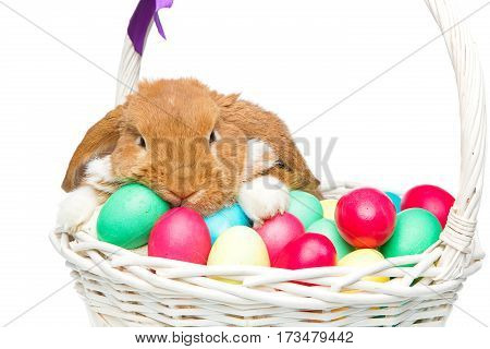 Adorable red domestic lop-eared rabbit sitting in basket with easter colored eggs. Easter bunny. Isolated over white background. Copy space.