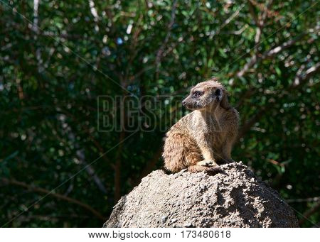 Single meerkat (suricata suricatta) crouched down on a rock looking out for predators looking to viewers left. Green leaves soft focus in background.