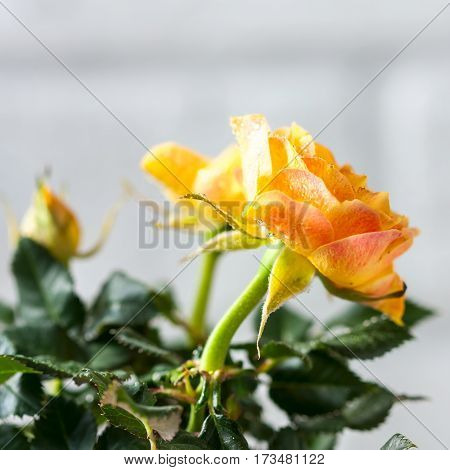 Yellow Mini Rose Bush Isolated On White Background. Gardening, Flowers.