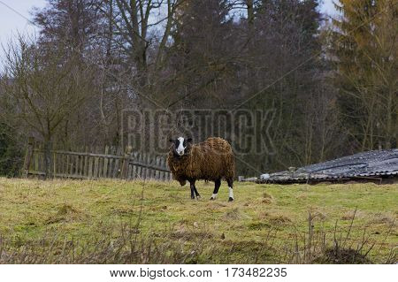 Sheep Adult sheep on farm in village.  Spring nature, garden, grass with molehills. Czech economy, farm, homestead.