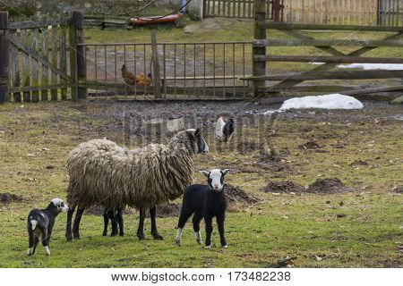 Sheep and lambs.  Adult sheep with three little lambs on farm in village. Coexistence animals - hen, chicken, cock and sheeps.  Spring nature, garden, grass with molehills. Czech economy, farm, homestead.