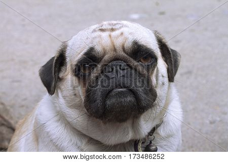 pug dog breed  domestic breed Animal  Canine