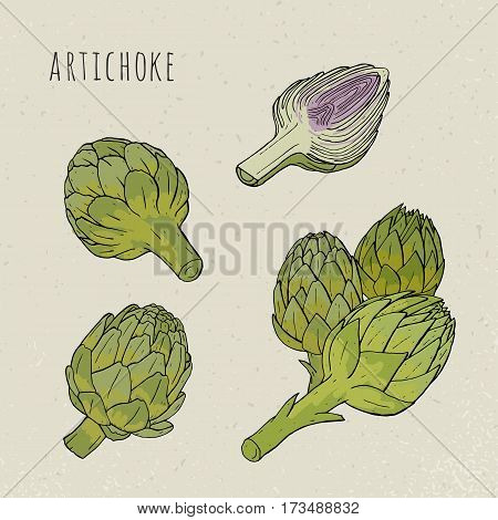 Sketch vector illustration. Artichoke set hand drawn botanical isolated and cutaway plant colorful.
