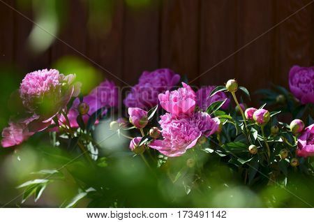 Flower background. A beautiful blooming peony bush with pink flowers in the garden.