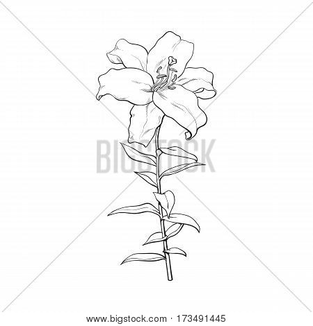 Single hand drawn white lily flower with stem and leaves, front view, sketch vector illustration isolated on white background. Realistic hand drawing of white lily, wedding flower, symbol of love