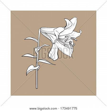 Single hand drawn white lily flower with stem and leaves, side view, sketch vector illustration isolated on brown background. Realistic hand drawing of white lily, wedding flower, symbol of love