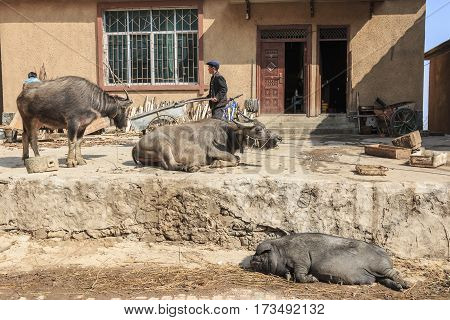 Yuanyang, China - February 20, 2017: Hani Farmer Busy With His Daily Activities With Water Buffalos