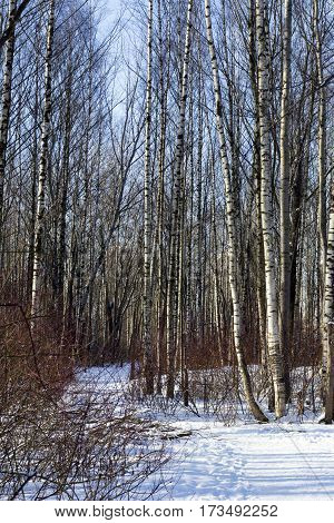 footpath on the snow in the woods or Park among the trees birches bushes twigs Sunny day winter fresh air Russia Europe North