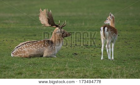 A natural photograph of a fallow deer lying on the grass watching a young fawn while it is looking back at him