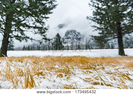 Focus on yellow grass covering with white snow and fir-trees in Oregon state