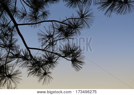 Pine branches with needles overhead silhouetted against a twilight sky, copy space