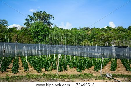 Black Pepper (piper Nigrum) Vines At Plantation