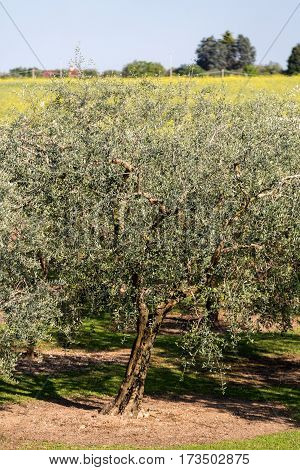The olive grove in Lazise at the Lake Garda. Italy