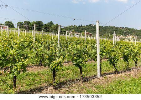 Vineyards in the Valpolicella region in Italy