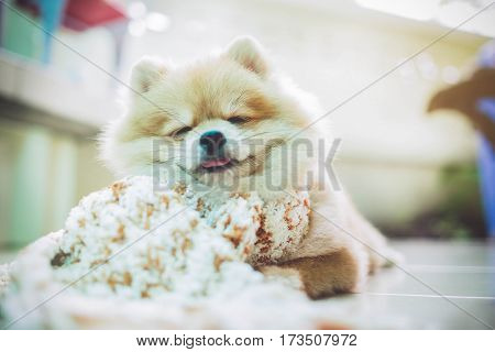 Dog Pomeranian Wearing A Scarf Sleeping Soft Sunlight. Front Porch.