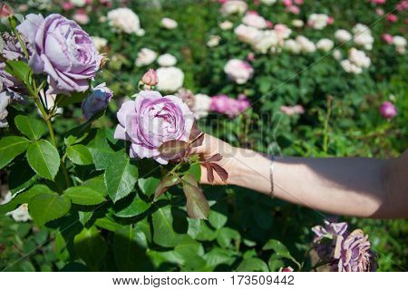 Rose bush with lots of violet roses in bloom. Girl holding a rose in her hand